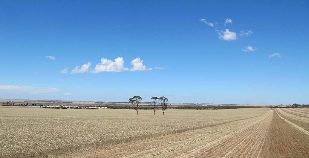 A wheat crop in Western Australia under harvest.
