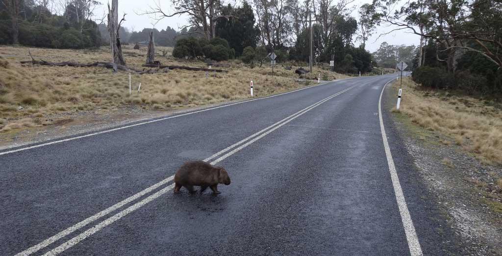 A crossing closer to home: a wombat crosses a Tasmanian road.