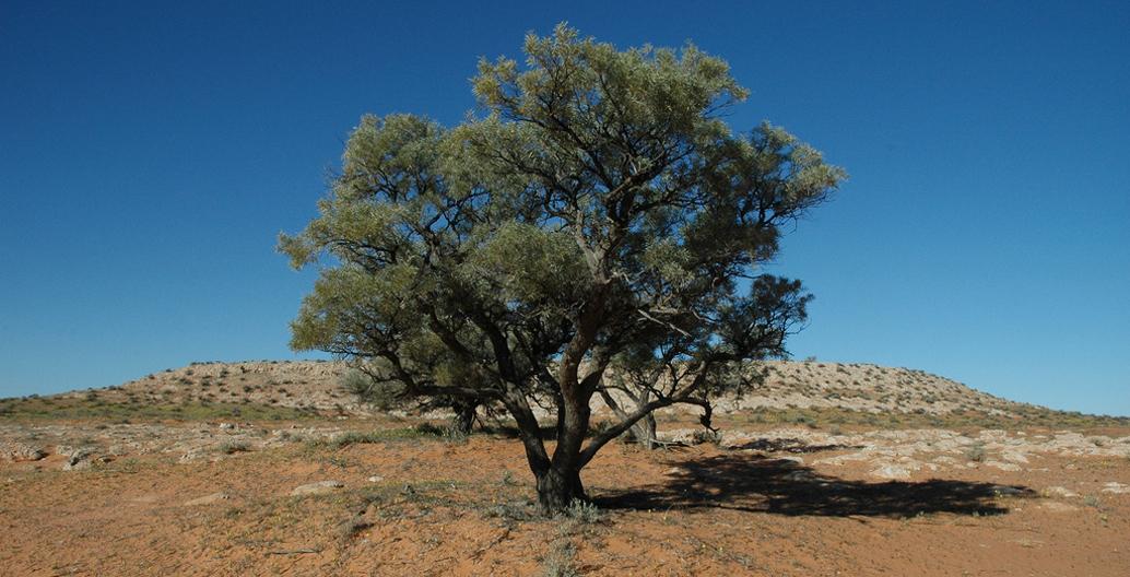 (Eucalyptus coolabah) in the Simpson Desert. Image: John Benwell.