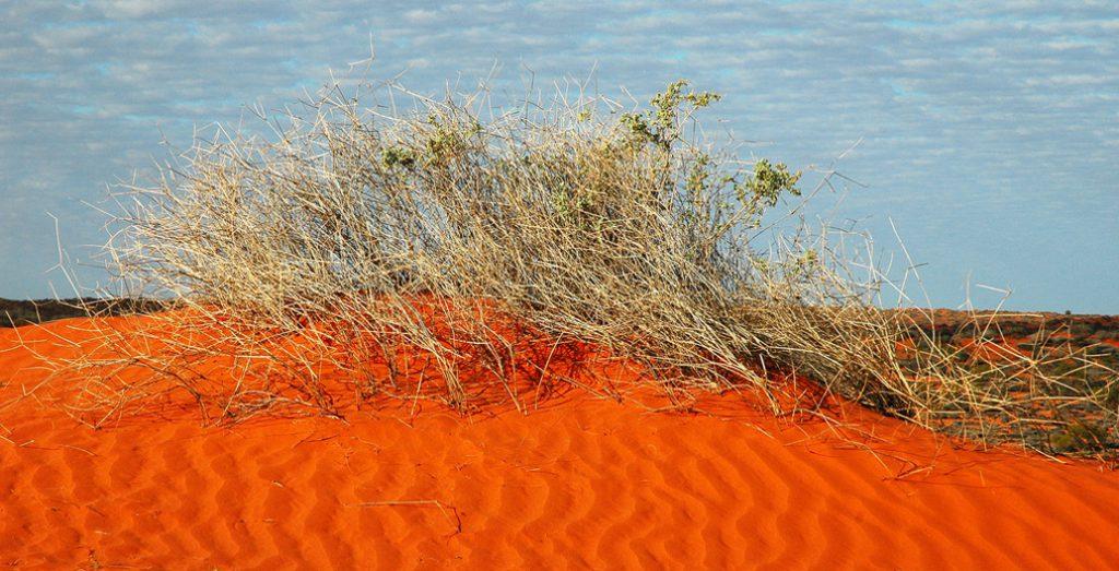 Simpson Desert scrub. Image: John Benwell.