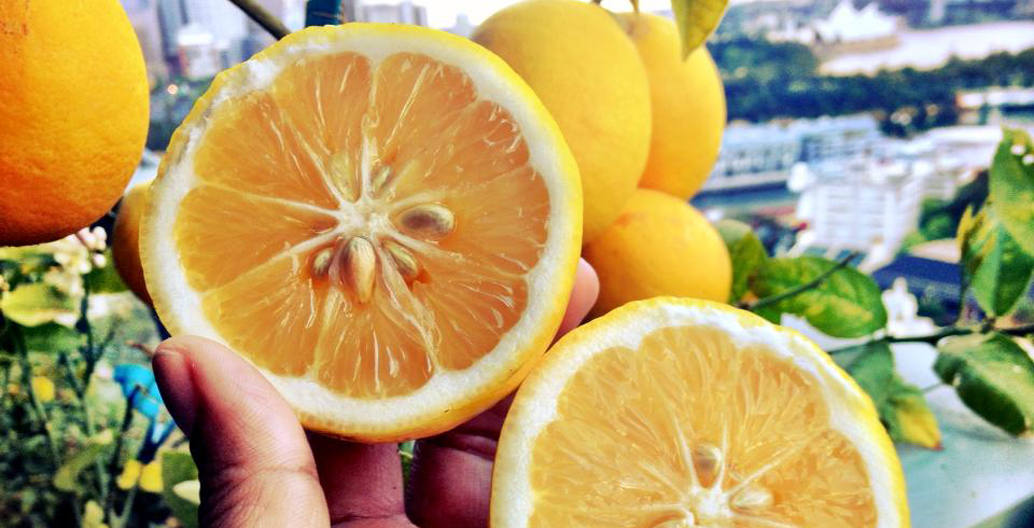Oranges grown from Nadioo's balcony dwarf Meyer lemon tree. Image: The Edible Balcony.