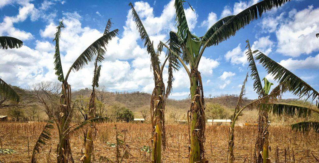 Dry plantain trees in El Tambo, Tola, Nicaragua.