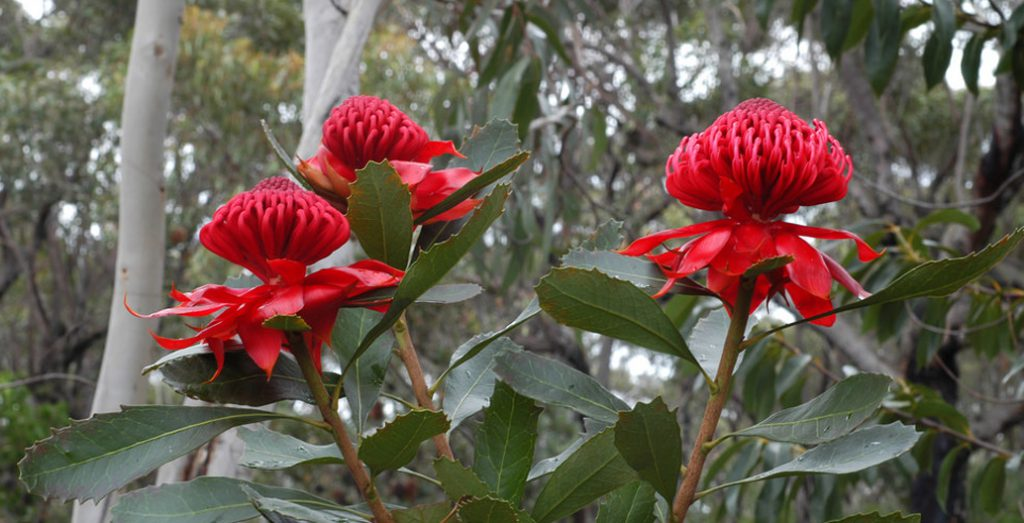 The Waratah 'Telopea speciosissima' is a native plant bouquet favourite, indigenous only to coastal NSW. Image: Doug Beckers.