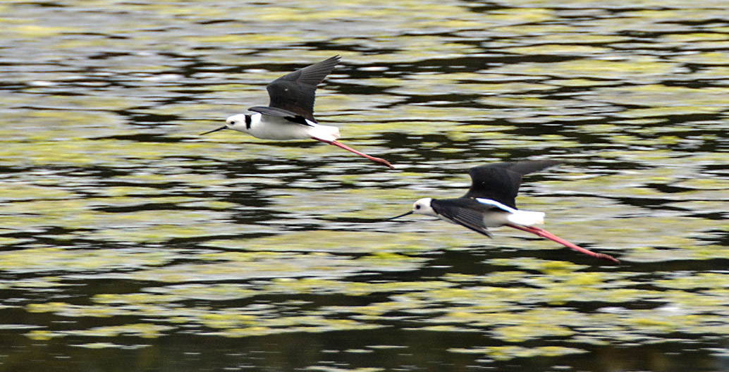 Rehabilitated wetlands can increase bird populations that may carry pathogens. Image: John Turnbull.