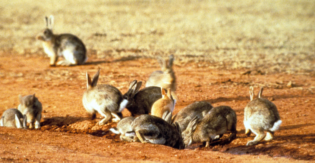 The European rabbit is another introduced pest that's damaging ecosystems.