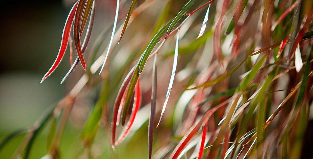 The delicate new foliage of Agonis flexuosa at Bendigo Hospital.