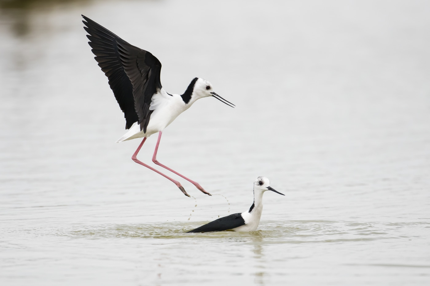 Pied Stilt at Western Treatment Plant