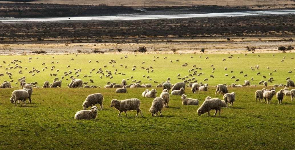 The Western Treatment Plant land was used for grazing sheep by settlers. Photo Martin Bisof