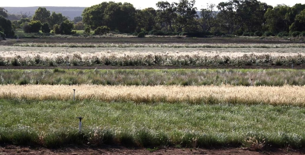 Rows of native grass species grown for seed at Flora Victoria seed production area just north-west of Melbourne.