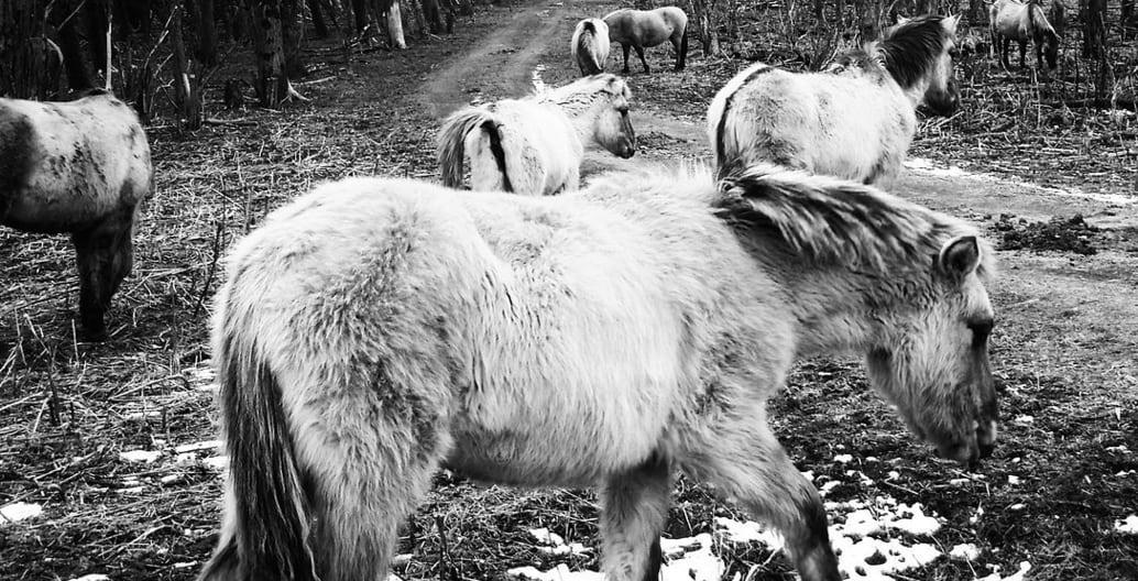 Konik ponies were returned to the Oostvaardersplassen as part of a native rewilding experiment. Photo: Steven Lek