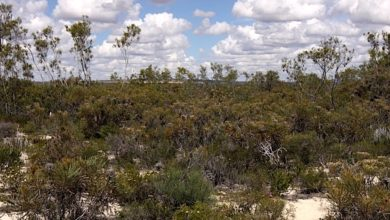 An experiment in West Australian shrublands mimics climate change to assess soil impacts. Photo: Joe Fontaine