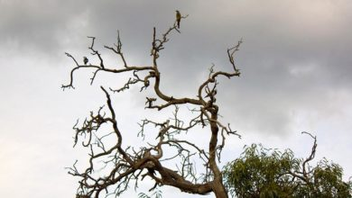 A dead branch of a Eucalyptus camaldulensis (river red gum) plays pitstop for assorted bird life. Photo: Rexness