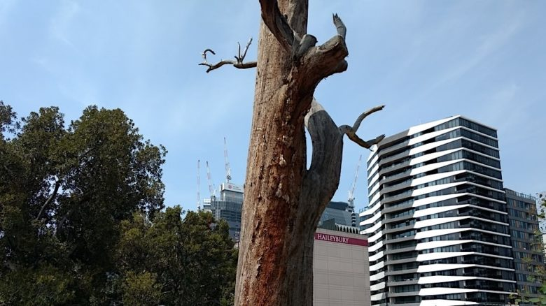 The dead Eucalyptus in Flagstaff Gardens. Melbourne against a background of city buildings. Photo: Jo Russell-Clarke