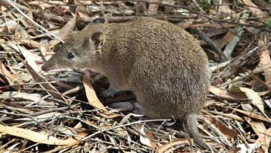 The endangered southern brown bandicoot is doing well in urban wildlife corridors created by infrastructure provision in Melbourne's suburbs. Photo: John O'Neill