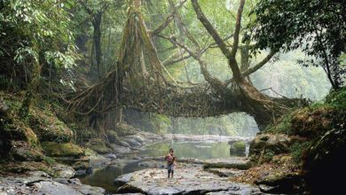 In the jungles of Meghalaya, India, the Khasi people have grown living root bridges over rivers for centuries. Photo: © Amos Chapple