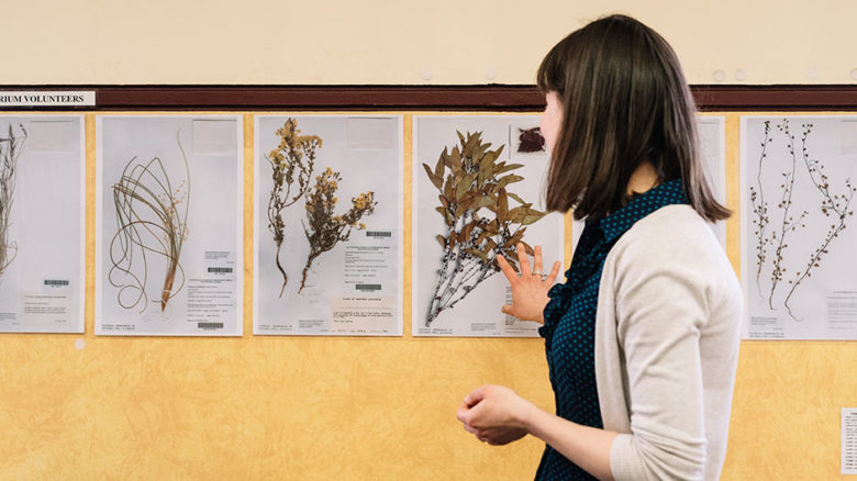 Volunteers help with mounting specimens at the Royal Botanic Gardens collection in the National Herbarium.