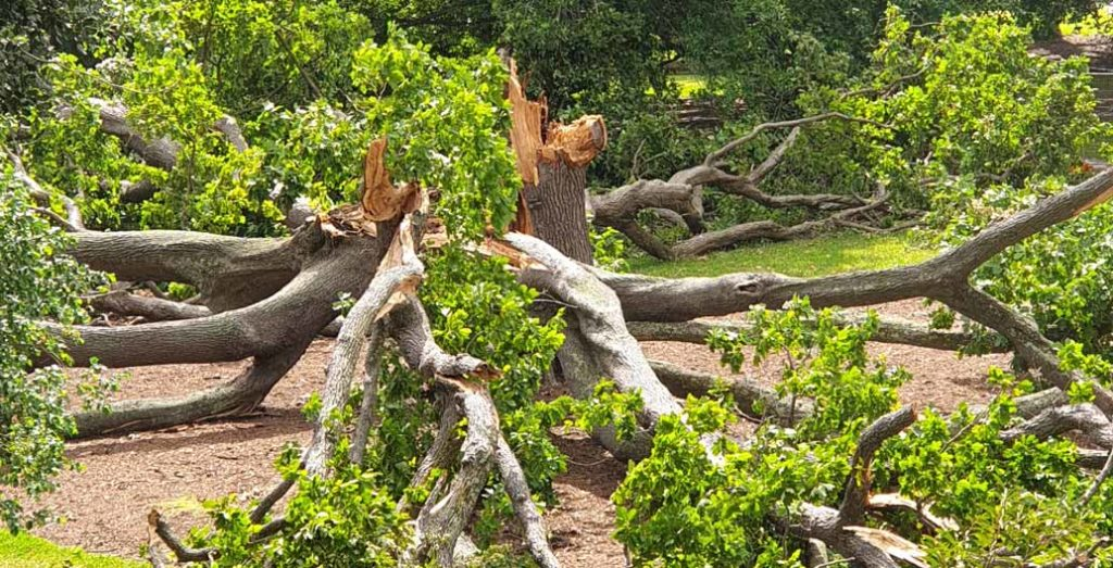A 150 year old White Oak collapses on the lawn of the Royal Botanic Gardens Melbourne, a victim of climate change stresses. Photo courtesy RBG