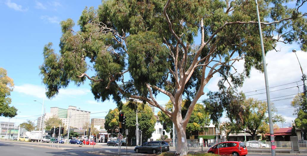 100-year-old Lemon-Scented Gum Flemington Road National Trust Register of Significant Trees