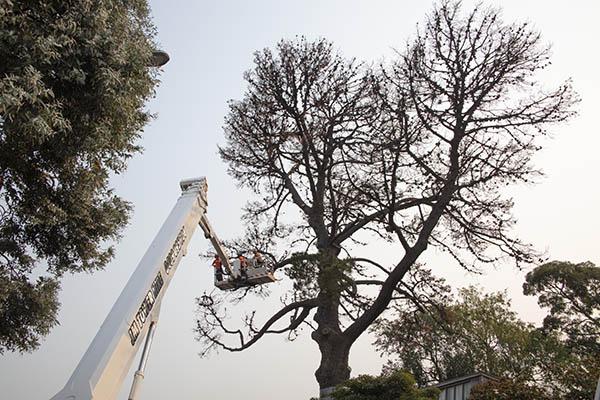 The Monterrey Pine at 290 Walsh Street being felled. Photo: John Gollings