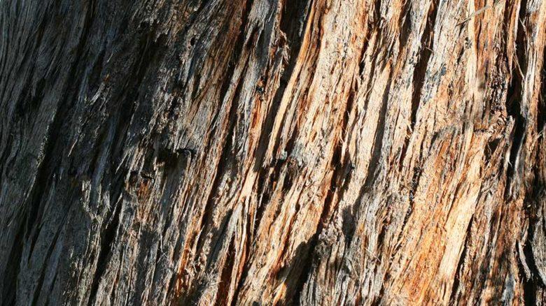 Messmate Stringbark, Eucalyptus obliqua significant trees