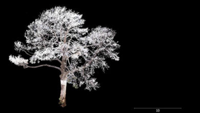 Point cloud scan of the significant tree at Robin Boyd's 290 Walsh Street house. Image: Yazid Ninsalam