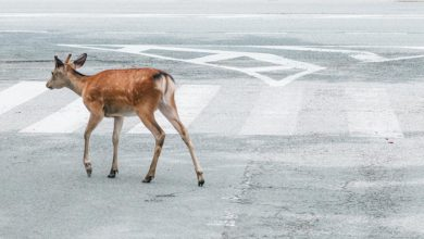 Wildlife around the world over are creeping back into cities deserted due to COVID-19. Image: Jie Huang