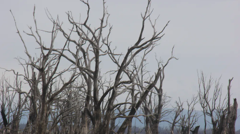 River red gum trees died following inundation after the dam was built. Image: Max Finlayson