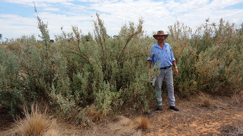 Ray Thompson standing with regenerated saltbush. Photo: Cameron Muir